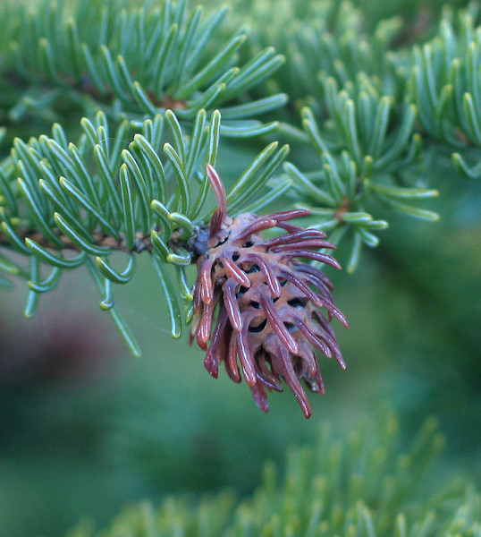 Cooley spruce gall (adelgid <I>Adelges cooleyi</I>) Canmore, Alberta, Canada