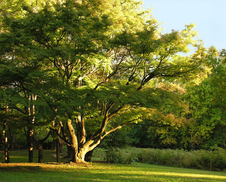 Champion Japanese maple (<I>Acer palmatum</I>) in early autumn Woodend Sanctuary, Chevy Chase, MD