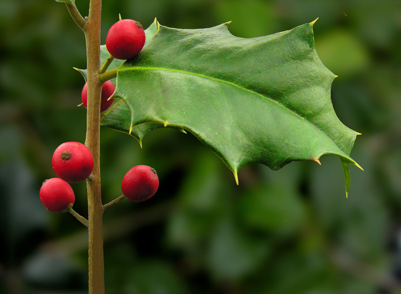 American holly (<i>Ilex opaca</i>) from my garden (Xmas card) Silver Spring, MD
