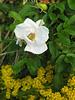 "White salt-spray rose (<i>Rosa rugosa</i>) <span class=""nonNative"">(non-native, naturalized)</span> and seaside goldenrod on shore of Pleasant Bay Chatham, Cape Cod, MA"