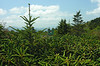 View from the Appalachian Trail through rhododendrons<br /> Carvers Gap, Pisgah-Cherokee National Forest, NC/TN border