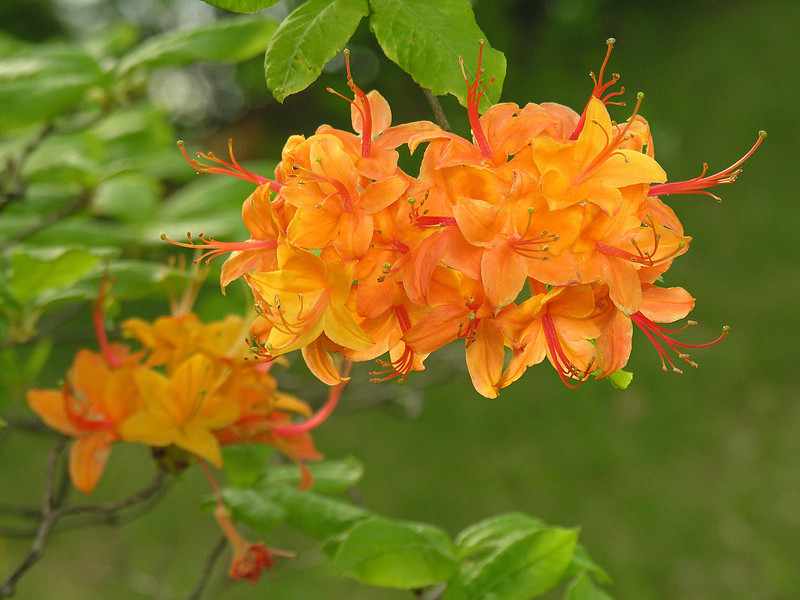 """Flame azalea (<I>Rhododendron calendulaceum</I>) <span class=""""nonNative"""">[garden planting]</span> Stronghold at foot of Sugarloaf Mountain, Frederick County, MD"""