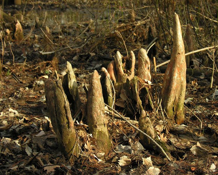 Bald cypress knees (<I>Taxodium distichum</I>) Battle Creek Cypress Swamp, near Prince Frederick, MD