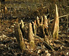 Bald cypress knees (<I>Taxodium distichum</I>) Battle Creek Cypress Swamp, near Prince Frederick, MD