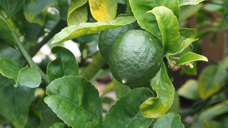Lime fruit in backyard citrus garden<br /> San Diego, CA