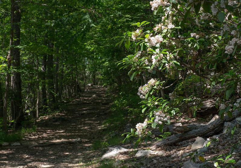 Mountain laurels (<I>Kalmia latifolia</I>) along the Blue Trail Sugarloaf Mountain, Frederick County, MD