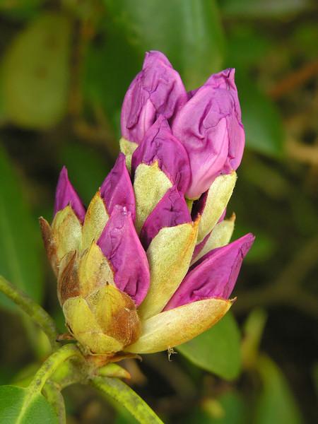 Purple rhododendron bud (<I>R. catawbiense</I>)  Bass Lake, Blowing Rock, NC