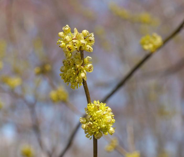 Spicebush flowers (<I>Lindera benzoin</I>) Government Island, Stafford, VA