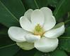 "Magnolia flower in the rain <span class=""nonNative"">[garden planting]</span> Brookside Gardens, Wheaton, MD"