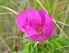 "Salt-spray rose (<i>Rosa rugosa</i>) on shore of Pleasant Bay <span class=""nonNative"">(non-native, naturalized)</span> Chatham"