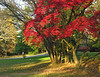 Japanese maple (<I>Acer palmatum</I>) in autumn  Woodend Sanctuary, Chevy Chase, MD