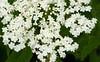 Elderberry (<I>Sambucus canadensis</I>) McKee-Beshers Wildlife Mgt Area, Poolesville, MD