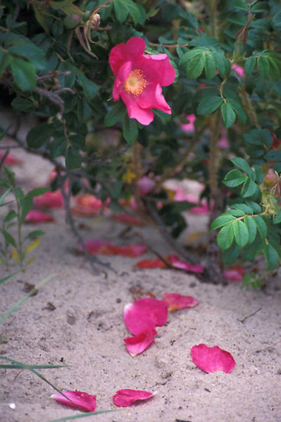 "Salt-spray roses (<i>Rosa rugosa</i>) on the beach <span class=""nonNative"">(non-native, naturalized)</span> Cape Cod, MA"