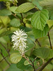"""Witch alder (<i>Fothergilla gardenii</i>) in spring <span class=""""nonNative"""">[native in garden planting]</span> Woodend Sanctuary, Chevy Chase, MD"""