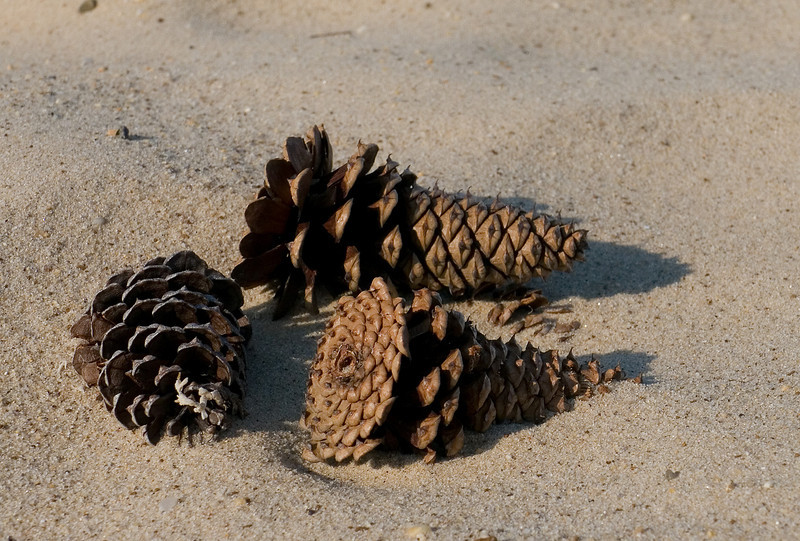 Pinecones blown into the sand<br /> Elm's Beach, Lexington Park, MD