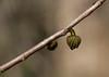 Pawpaw (<i>Asimina triloba</i>) flower bud C&amp;O Canal Nat'l Historical Park - Carderock Recreation Area, Western Montgomery County, MD