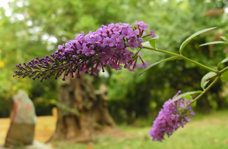 Butterly bush (<I>Buddleia</I>) in early autumn Woodend Sanctuary, Chevy Chase, MD