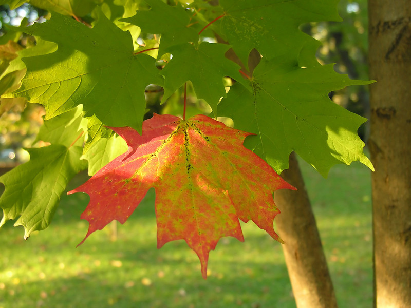 """Sugar maple leaf (<i>Acer saccharum</i>) in autumn <span class=""""nonNative"""">[native in garden planting]</span> Woodend Sanctuary, Chevy Chase, MD"""