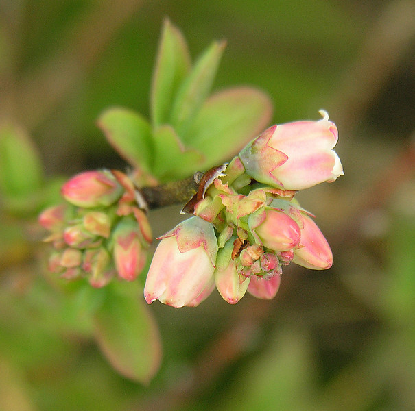 Flower buds of an unidentified <I>vaccinium</I> (blueberry?) along the Appalachian Trail Carvers Gap, Pisgah-Cherokee National Forest, NC/TN border