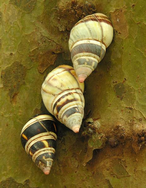 Florida tree snails (<I>Liguus?</I> sp.) on gumbo limbo tree Castellow Hammock, near Miami, FL