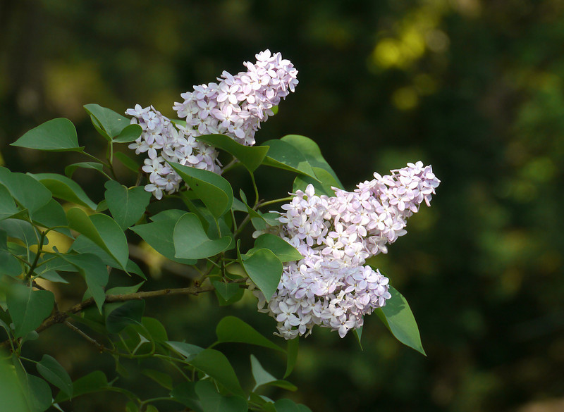 """Lilac (<i>Syringa vulgaris</i>) in spring  <span class=""""nonNative"""">[native in garden planting]</span> Woodend Sanctuary, Chevy Chase, MD"""