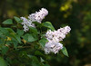 "Lilac (<i>Syringa vulgaris</i>) in spring  <span class=""nonNative"">[native in garden planting]</span> Woodend Sanctuary, Chevy Chase, MD"