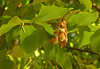 """Hophornbeam (<i>Ostrya virginiana</i>) fruiting structures in early autumn <span class=""""nonNative"""">[Note immature male catkin at left]</span>  <span class=""""nonNative"""">[native in garden planting]</span> Woodend Sanctuary, Chevy Chase, MD"""