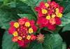 """Lantana <span class=""""nonNative"""">[garden planting]</span> Brookside Gardens, Wheaton, MD"""