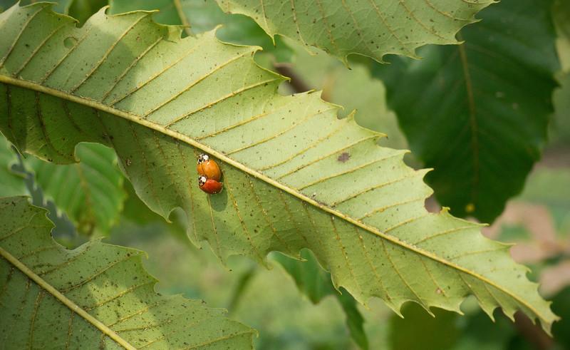 Mating ladybird beetles on American Chestnut in breeding orchard<br /> Black Hill Regional Park, Boyds, MD