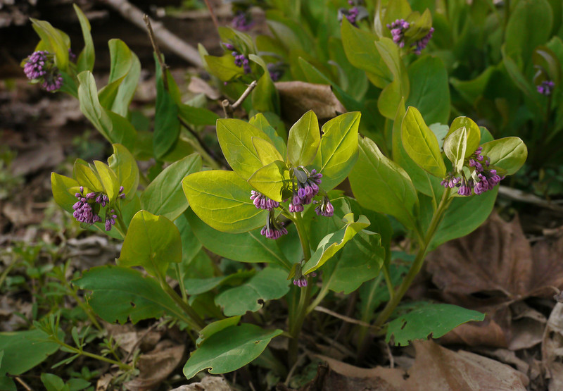 Virginia bluebells (<I>Mertensia virginica</I>) just beginning to bloom C&O Canal Nat'l Historical Park - near Riley's Lock, Western Montgomery County, MD
