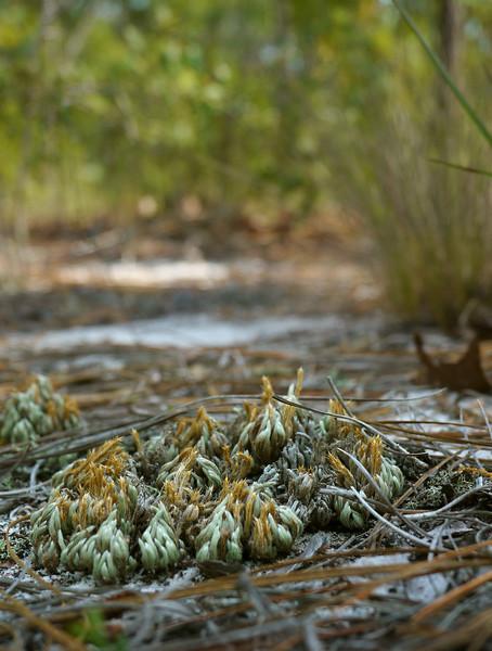 Sand spikemoss (<I>Selaginella arenicola</I>) Carolina Beach State Park, Carolina Beach, NC