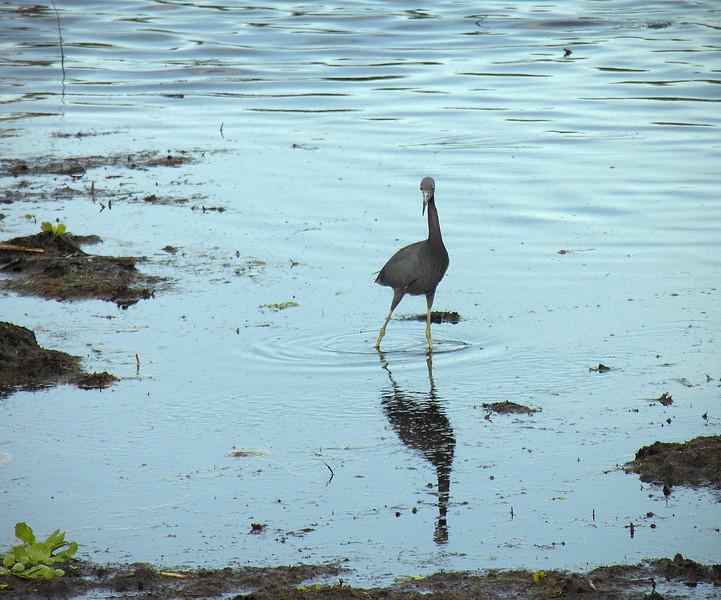 Little blue heron<br /> Wakodahatchee Wetlands, Delray Beach, FL