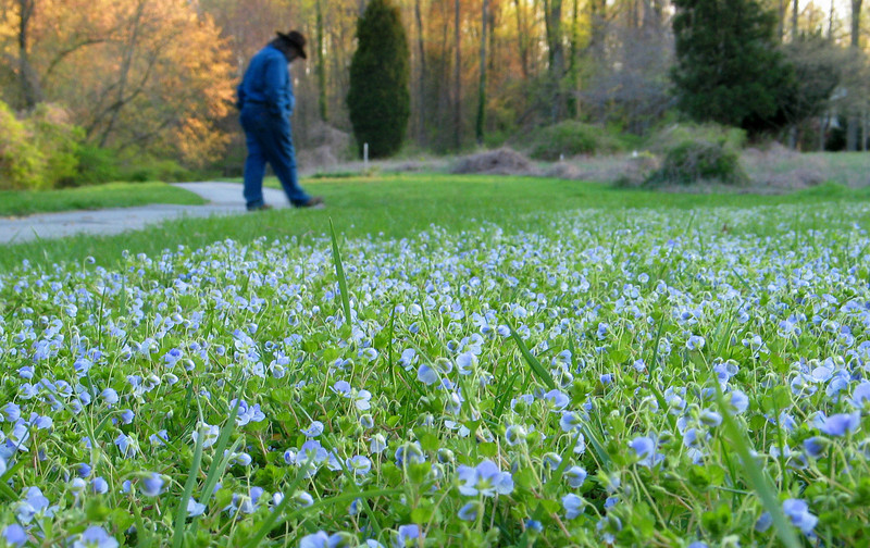 "Meadow of Persian speedwell (<i>Veronica persica</i>) <span class=""nonNative"">[non-native]</span> Rock Creek Park, Chevy Chase, MD"