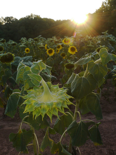 """Nodding sunflowers at sunset (<i>Helianthus annuus</i>) <span class=""""nonNative"""">[non-native, crop planting]</span> McKee-Beshers Wildlife Mgt Area, Poolesville, MD"""
