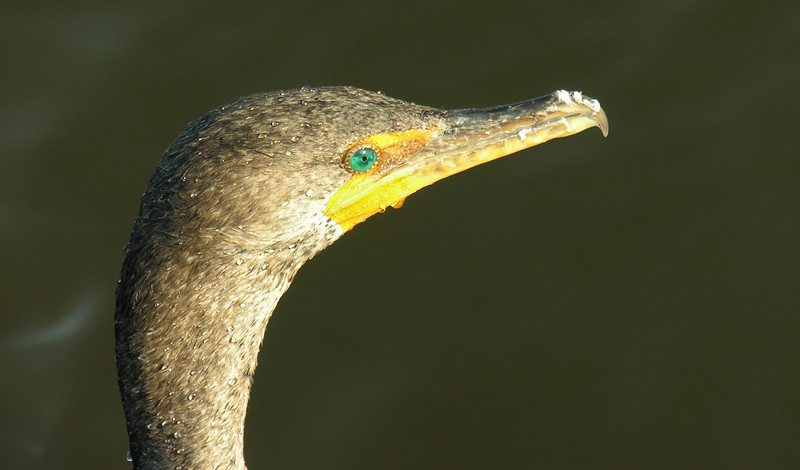 Double-crested cormorant<br /> Anhinga Trail, Everglades National Park, FL