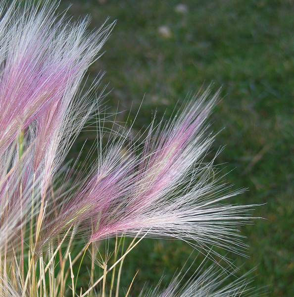 Foxtail barley grass at Quarry Lake<br /> Canmore, Alberta, Canada