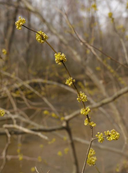 Spicebush in flower (<I>Lindera benzoin</I>) along Aquia Creek Government Island, Stafford, VA
