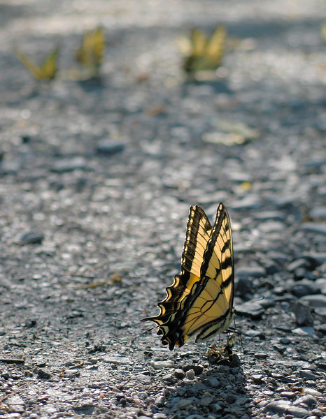 Tiger swallowtails (<I>Papilio glaucus</I>) mudding Northern Montgomery County, MD