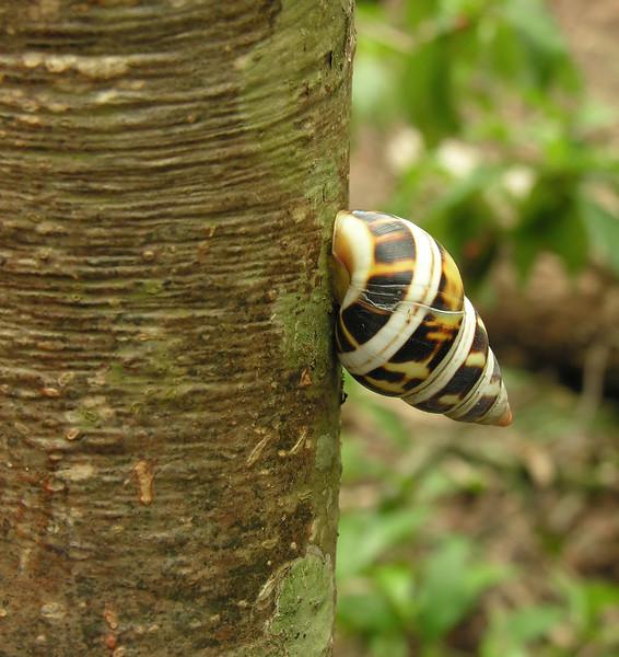 Florida tree snail (<I>Liguus?</I> sp.) Castellow Hammock, near Miami, FL