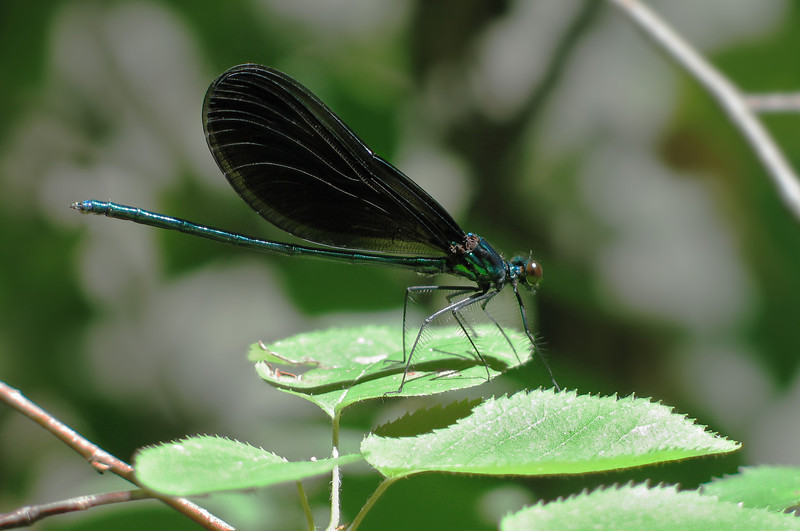 Ebony jewelwing (<I>Calopteryx maculata</I>), male Northwest Branch Trail, Riverdale, MD