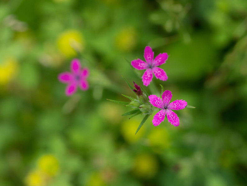 """Deptford pink (<i>Dianthus armeria</i>)  <span class=""""nonNative"""">[Non-native]</span> McKee-Beshers Wildlife Mgt Area, Poolesville, MD"""