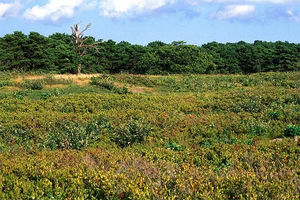 Colorful autumn heath<br /> Mass Audubon's Wellfleet Bay Wildlife Sanctuary, Cape Cod, MA