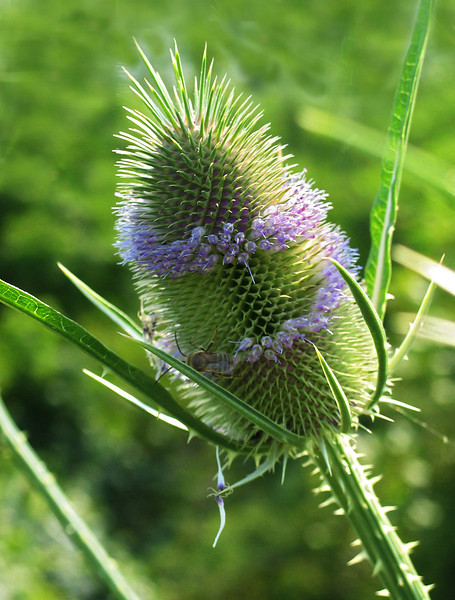 """Fuller's teasel (<i>Dipsacus fullonum</i>) spiral-flowering <span class=""""nonNative"""">[non-native]</span> McKee-Beshers Wildlife Mgt Area, Poolesville, MD"""