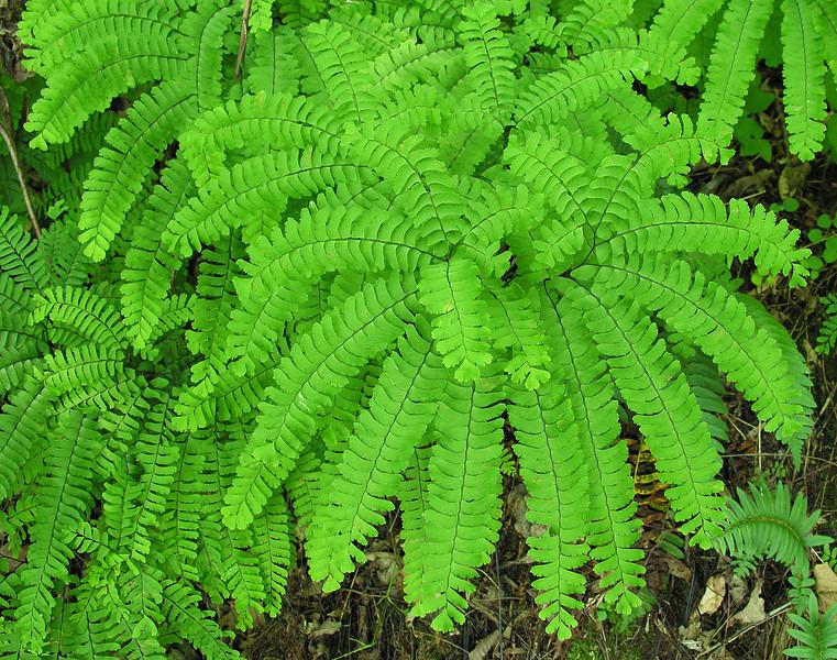 Maidenhair fern (<I>Adiantum pedatum</I>) Little Bennett Regional Park, Clarksburg, MD