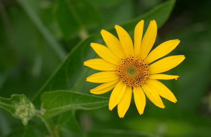 Woodland sunflower (<I>Helianthus divaricatus</I>) Southern Frederick County, MD