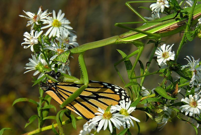 Praying mantis enjoying a Monarch feast amidst asters<br /> Eastern Neck Wildlife Refuge, Rock Hall, MD