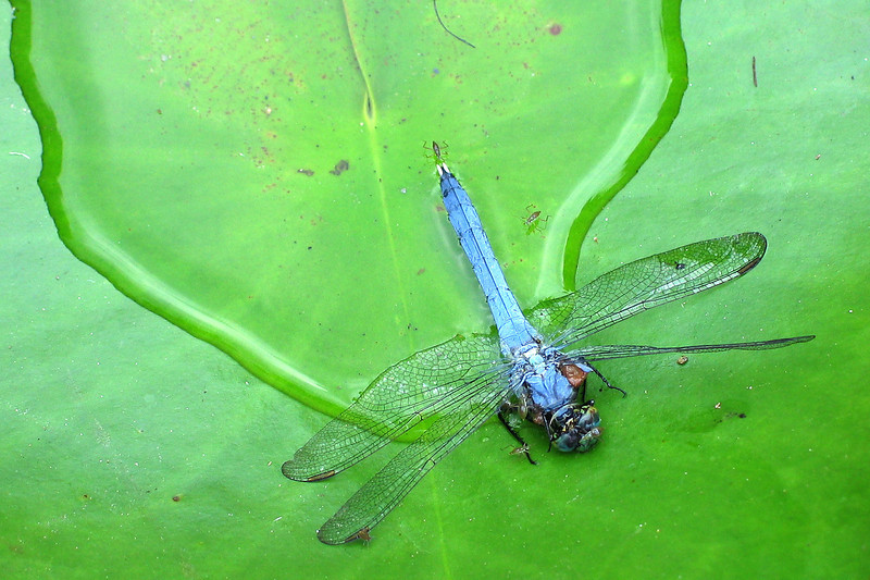 Eastern pondhawk dragonfly (<I>Erythemis simplicicollis</I>), male Brookside Gardens, Wheaton, MD