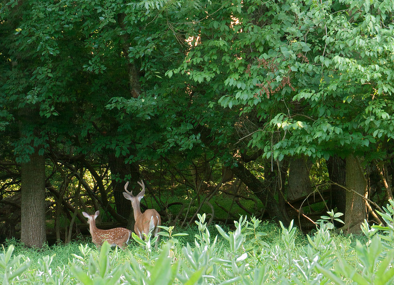 Whitetail buck with spotted fawn at meadow's edge <br /> Woodend Sanctuary, Chevy Chase, MD