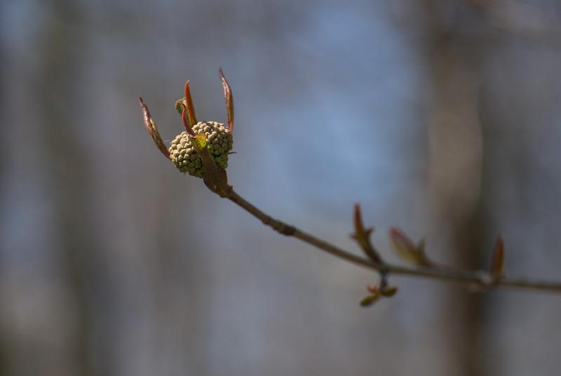 Black haw (<i>Viburnum prunifolium</i>) flower buds C&amp;O Nat'l Hist Park - Widewater, Western Montgomery County, MD