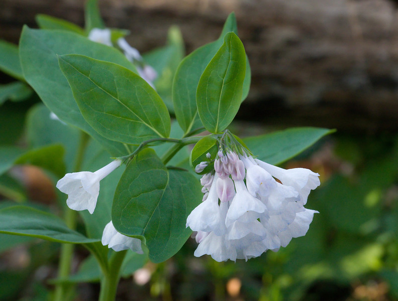 Virginia bluebells (<I>Mertensia virginica</I>), ethereal white form  C&O Canal Nat'l Historical Park - Carderock Recreation Area, Western Montgomery County, MD